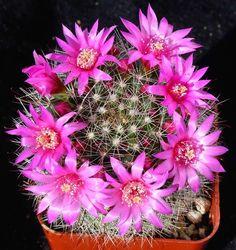 kaktus cantik jenis Pincushion (kaktus bantalan)