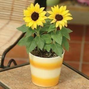 20-biji-Bag-Biji-bunga-matahari-kerdil-dalam-jumlah-besar-balkon-biji-bunga-pot