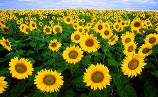 400px-Sunflowers