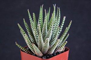 Loreng Unik si Kaktus Zebra (Haworthias ) 2