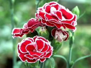 Pesona Warna Cantik Bunga Anyelir 4