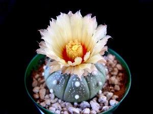 kaktus astrophytum asterias indah