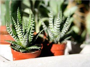 Loreng Unik si Kaktus Zebra (Haworthias ) 6