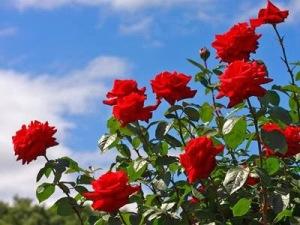 Bunga Mawar Cantik tapi Berduri 7