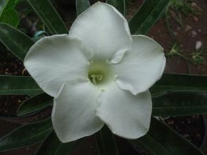 Adenium White Knight1