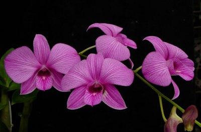 bunga anggrek cantik nan elegan 8