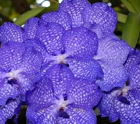 anggrek vanda singapore orchid