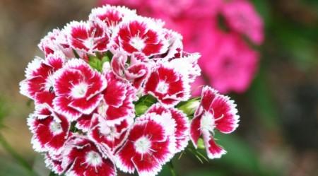 Pesona Warna Cantik Bunga Anyelir 8