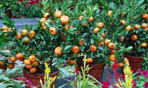 tanaman buah dalam pot jeruk