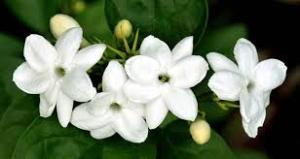 Manfaat bunga melati bagi kesehatan