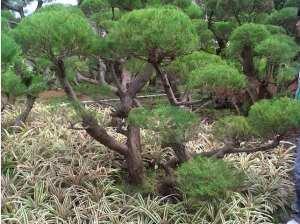 Cemara Udang sebagai tanaman hias 1