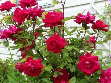 Bunga Mawar Cantik tapi Berduri 8