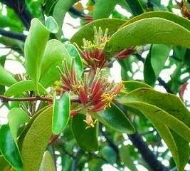 tanaman herbal obat kanker 3