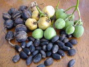 buah dan biji-jarak