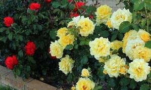 Bunga Mawar Cantik tapi Berduri 2