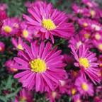 Warna-warni Cantik Bunga Aster 3