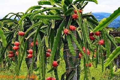 Cara penanaman buah naga yang mudah