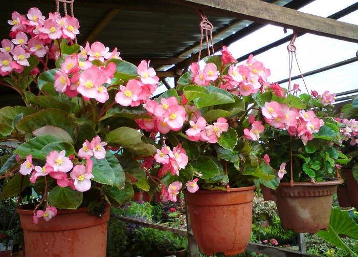 Cara Merawat Bunga Begonia Di Pot Gantung Botaniku Com