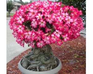 Cara-Merawat-Bunga-Kamboja-Jepang-Adenium