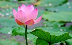 bunga lotus sang ratu air 2