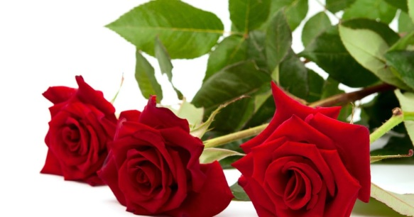 Cara Merawat Bunga Mawar Agar Tidak Layu Botaniku Com