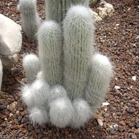Cephalocereus Senilis old man cactus