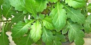 tanaman herbal obat kanker 5