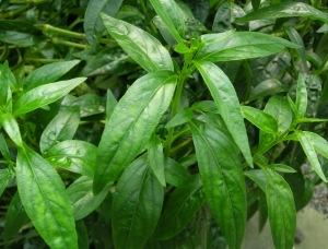 Tanaman Obat Herbal Untuk Asam Urat 4