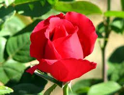Bunga Mawar Cantik tapi Berduri 4