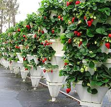 teknik tanam vertikultur buah