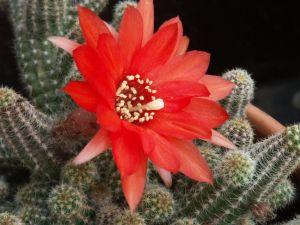 Kaktus Berbunga Jingga (Echinopsis chamaecereus) 4