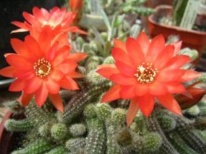 Kaktus Berbunga Jingga (Echinopsis chamaecereus) 5