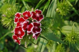 Pesona Warna Cantik Bunga Anyelir 2