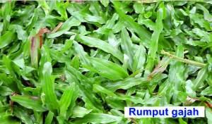 Ini dia Jenis-jenis rumput, Hijau bak Karpet 4