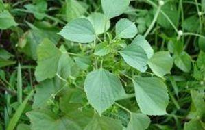 Tanaman Obat Herbal Untuk Asam Urat 5