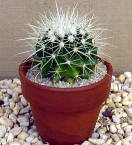 kaktus golden barrel