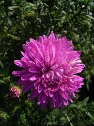Warna-warni Cantik Bunga Aster 0