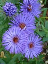Warna-warni Cantik Bunga Aster 9