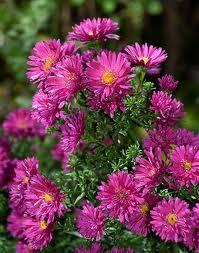 Warna-warni Cantik Bunga Aster 8