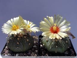 kaktus astrophytum asterias