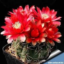 kaktus Gymnocalycium : kaktus berbunga indah