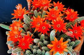 Kaktus Berbunga Jingga (Echinopsis chamaecereus) 8