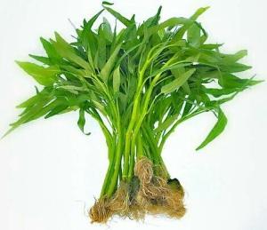 menanam sayuran organik kangkung