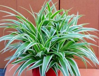 Lili Paris atau Clorophytum comosum cantik
