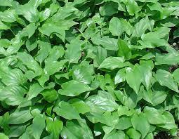 tanaman herbal obat kanker 4