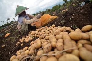 Petani memanen kentang granola di lahan pertanian Resort 10, Kayu Aro, Kerinci, Jambi, Kamis (14/5). Data BPS Jambi, Nilai Tukar Petani (NTP) provinsi itu pada April 2015 kemarin menurun 1,13 persen dari 95,81 poin pada bulan sebelumnya menjadi 94,72 poin akibat turunnya indeks harga yang diterima petani lebih kecil dibanding kenaikan yang dibayar petani. ANTARA FOTO/Wahdi Septiawan/ss/mes/15.