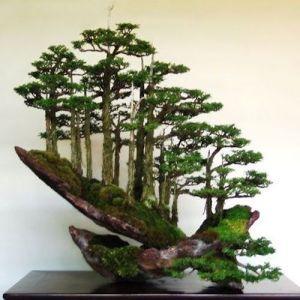Tanaman bonsai : Tanaman hias yang indah