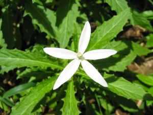 Obat mata alami dan herbal: Bunga Kitolod 4
