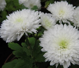 Bunga Krisan Ampuh Kendalikan Hama