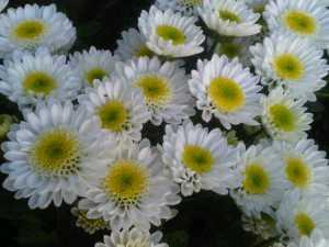 Bunga Krisan Ampuh Kendalikan Hama 3